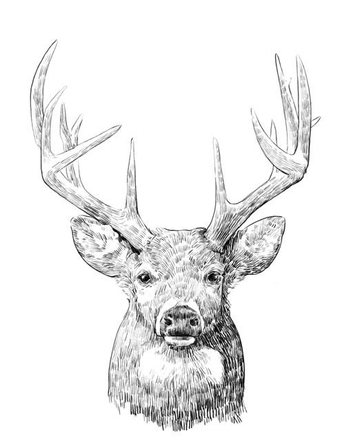 Young Buck Sketch II
