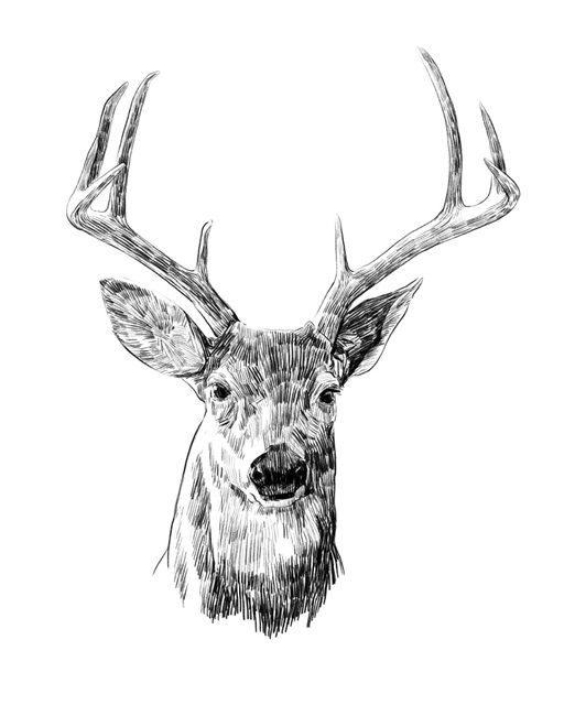 Young Buck Sketch III