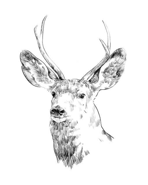 Young Buck Sketch IV