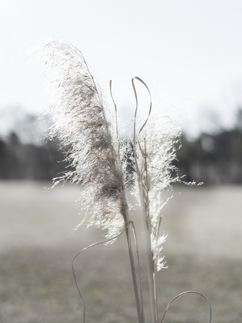 Ethereal Pampas I