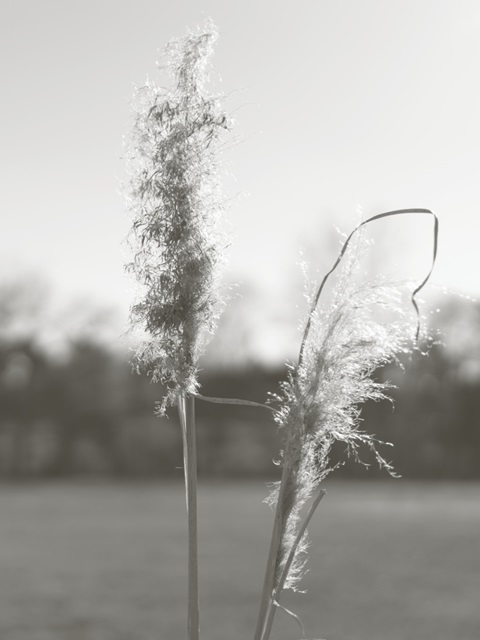 Ethereal Pampas IV