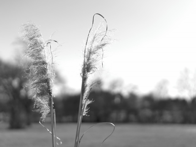 Ethereal Pampas VIII