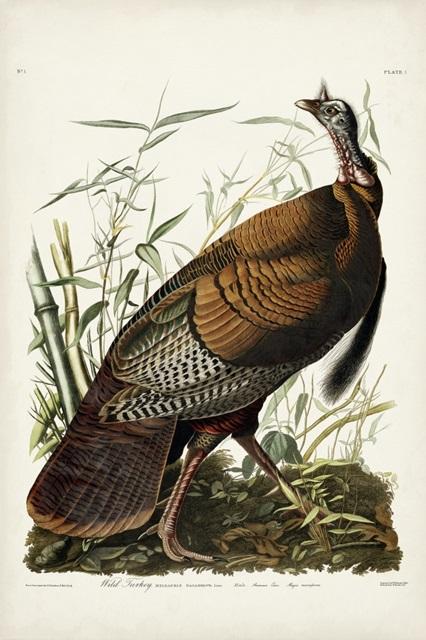 Pl 1 Wild Turkey