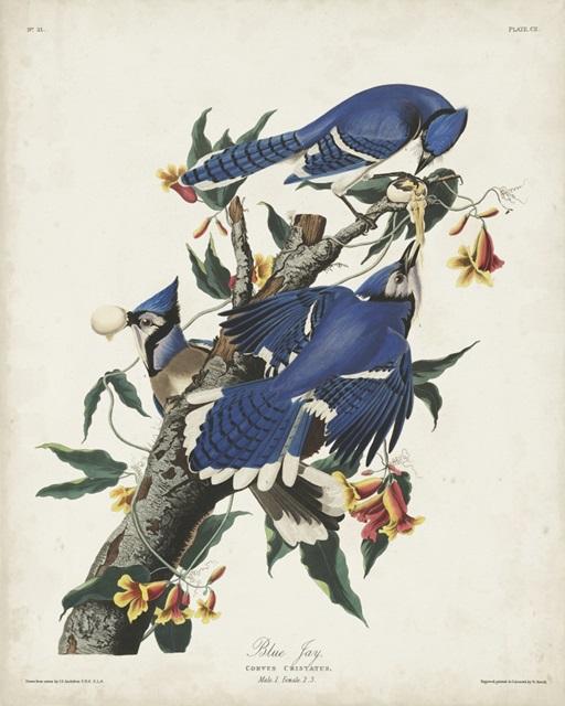 Pl 102 Blue Jay