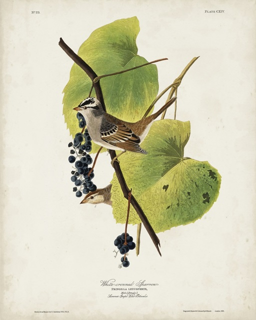 Pl 114 White-crowned Sparrow
