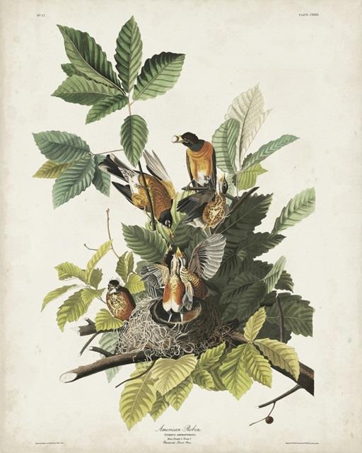 Pl 131 American Robin