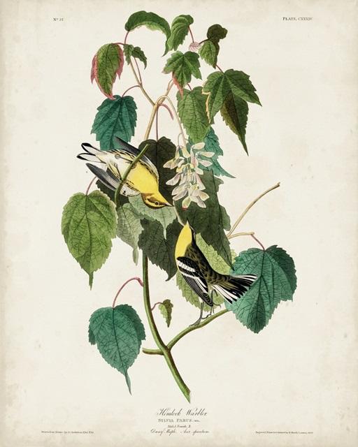 Pl 134 Hemlock Warbler