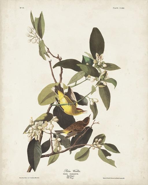 Pl 163 Pine Warbler