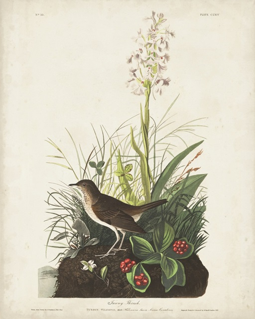 Pl 164 Tawny Thrush