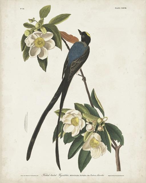 Pl 168 Fork-tailed Flycatcher