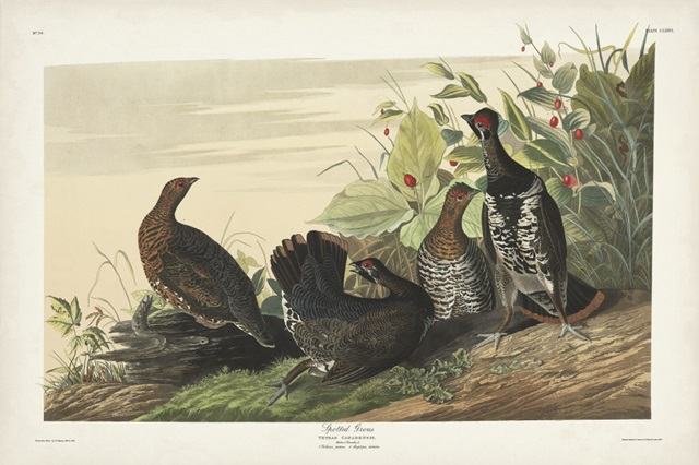 Pl 176 Spotted Grouse