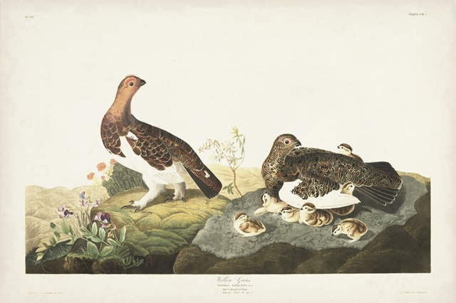 Pl 191 Willow Grouse