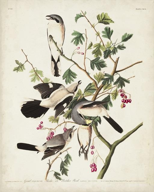 Pl 192 Great Cinereous Shrike