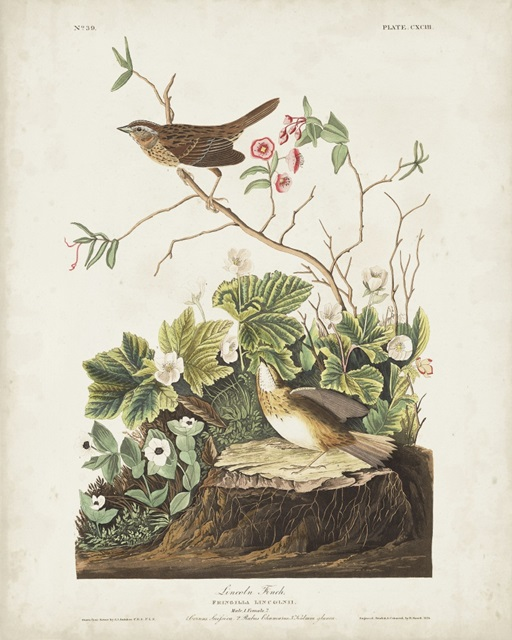 Pl 193 Lincoln Finch