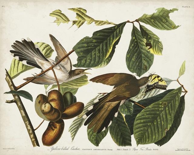 Pl 2 Yellow-billed Cuckoo
