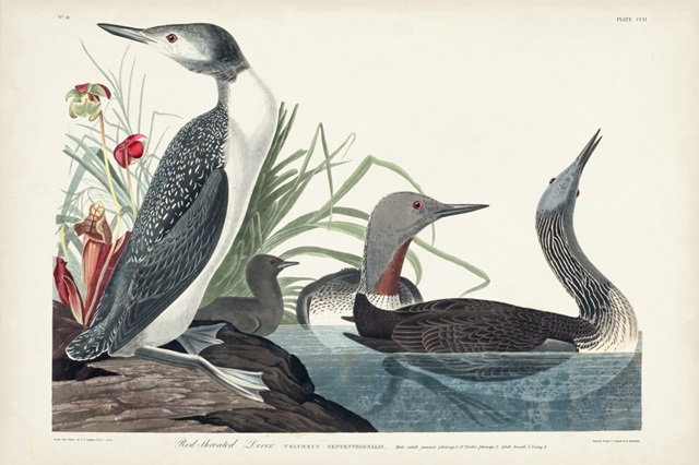 Pl 202 Red-throated Diver