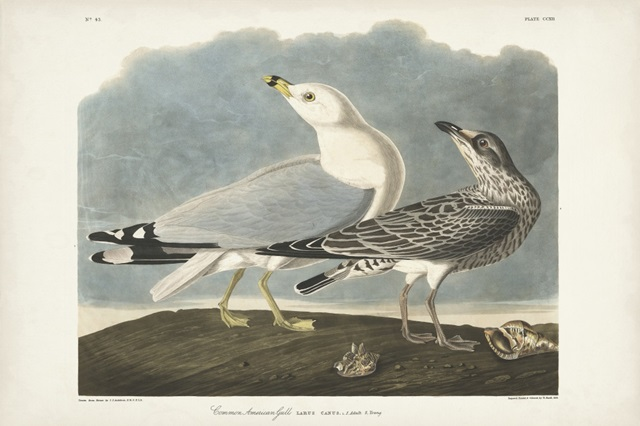 Pl 212 Common American Gull