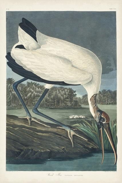 Pl 216 Wood Ibis