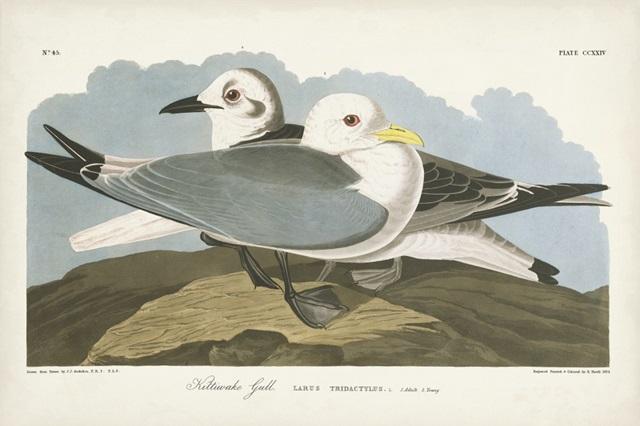 Pl 224 Kittiwake Gull