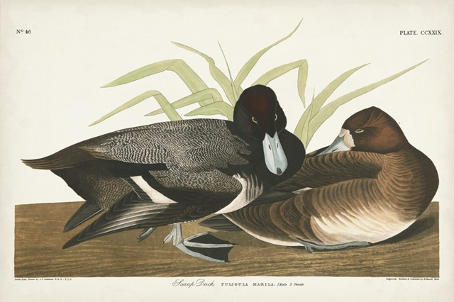 Pl 229 Scaup Duck