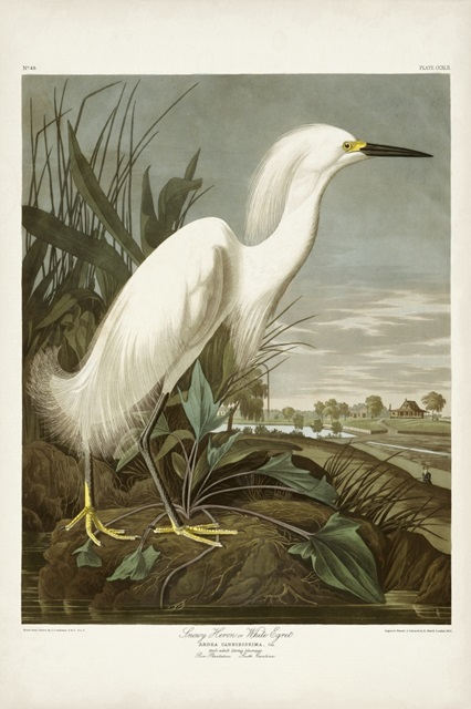Pl 242 Snowy Heron