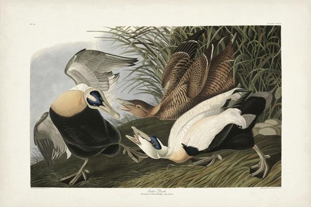 PL 246 Eider Duck