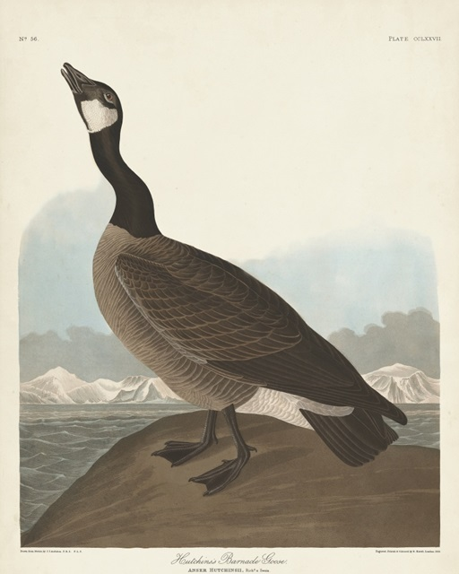 Pl 277 Hutchinss Barnacle Goose