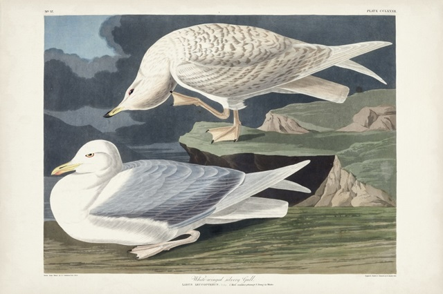 Pl 282 White-winged Silvery Gull