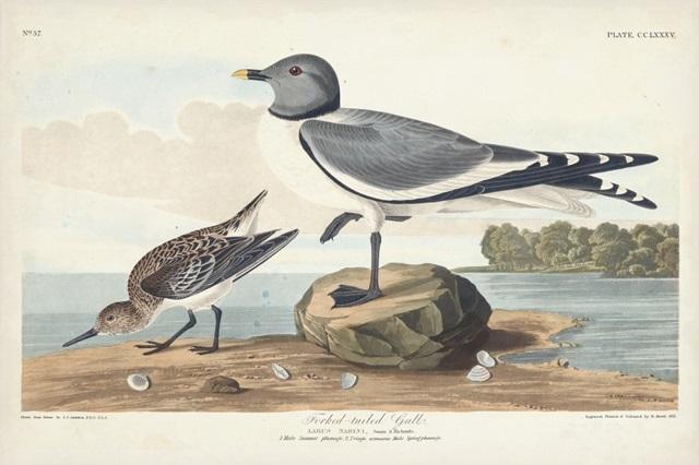 Pl 285 Fork-tailed Gull