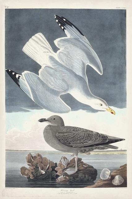 Pl 291 Herring Gull