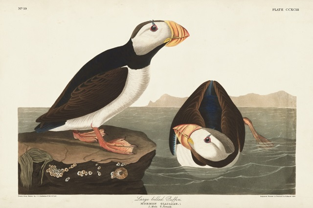 Pl 293 Large-billed Puffin