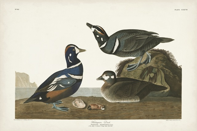 Pl 297 Harlequin Duck