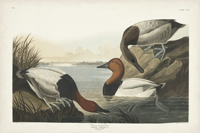 Pl 301 Canvas-backed Duck