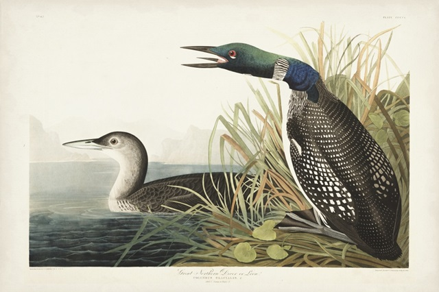 Pl 306 Great Northern Diver or Loon