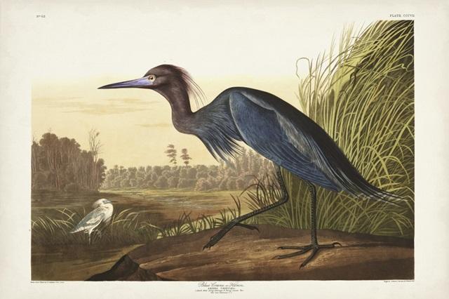 Pl 307 Blue Crane or Heron