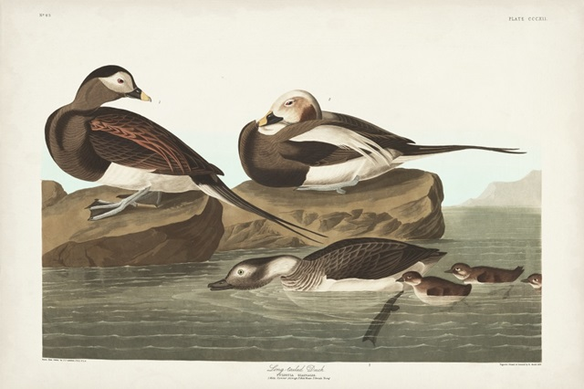 Pl 312 Long-tailed Duck