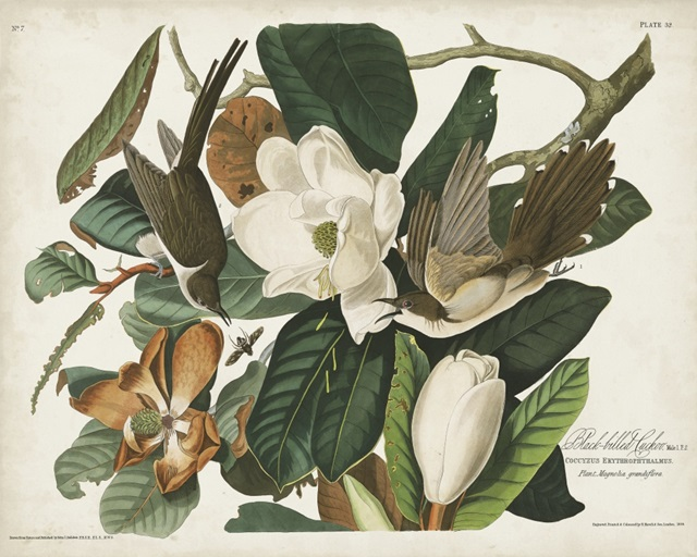 Pl 32 Black-billed Cuckoo