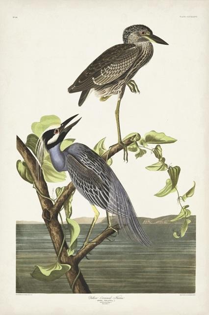 Pl 336 Yellow-crowned Heron