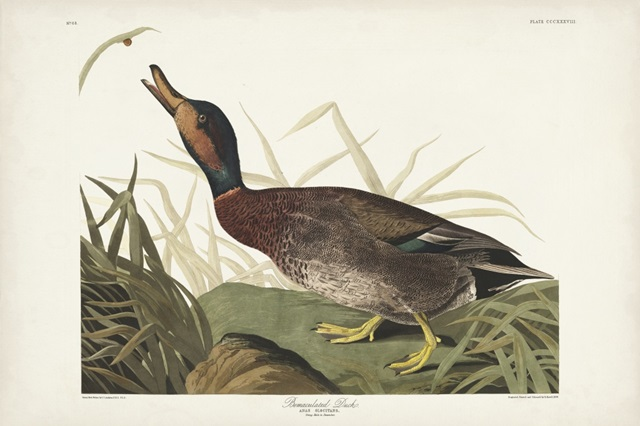 Pl 338 Bemaculated Duck
