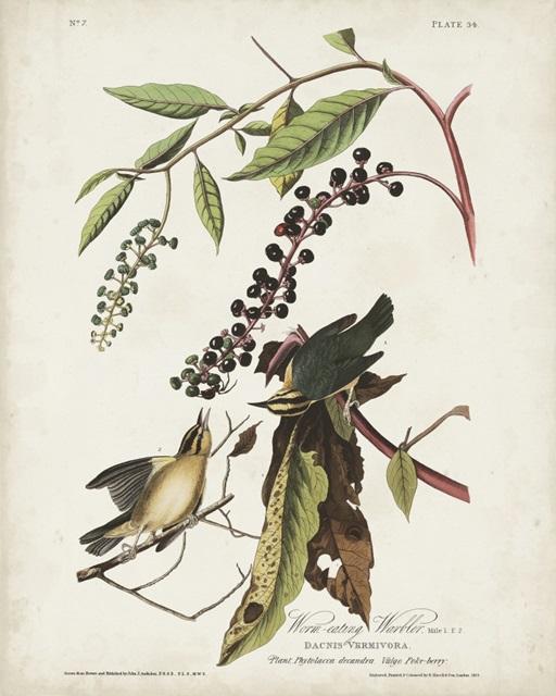 Pl 34 Worm-eating Warbler