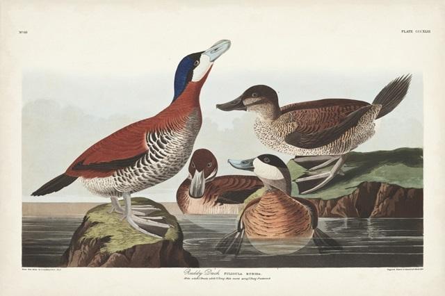 Pl 343 Ruddy Duck