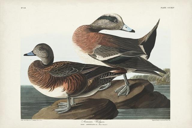 Pl 345 American Widgeon