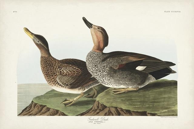 Pl 348 Galdwell Duck