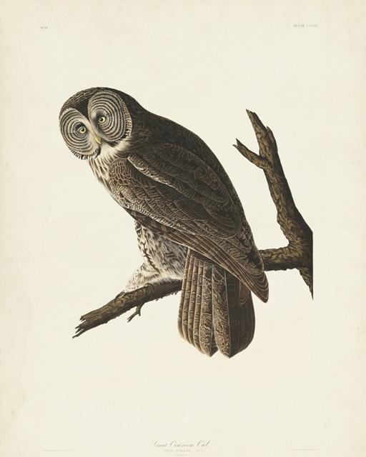 Pl 351 Great Cinereous Owl