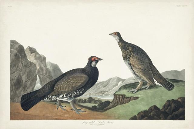 Pl 361 Long-tailed or Dusky Grouse