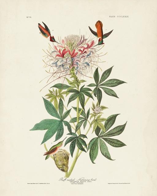 Pl 379 Ruff-necked Hummingbird
