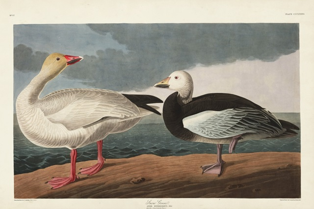 Pl 381 Snow Goose