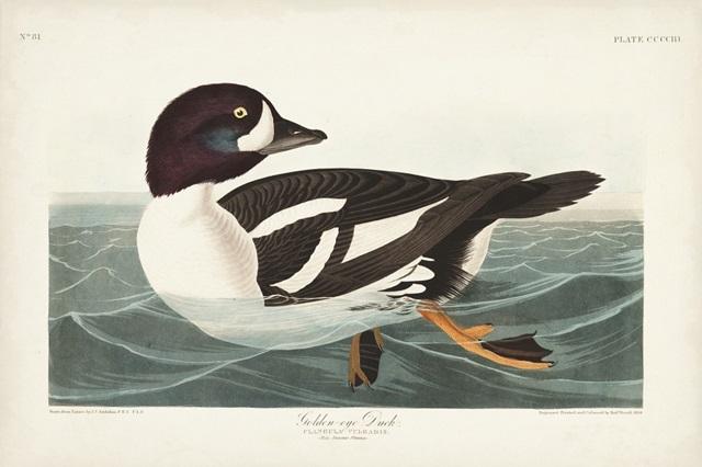 Pl 403 Golden-eye Duck