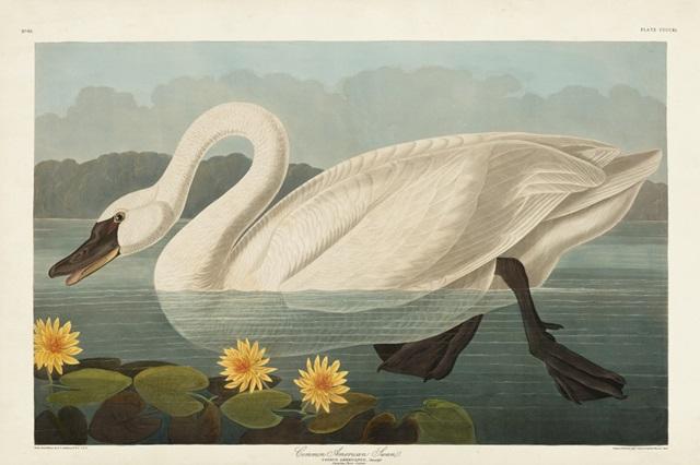 Pl 411 Common American Swan