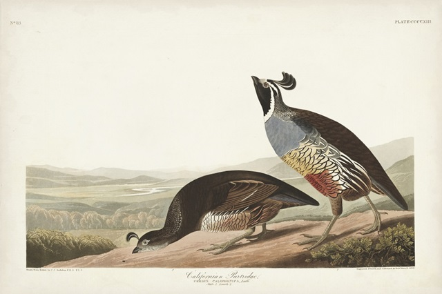 Pl 413 Californian Partridge